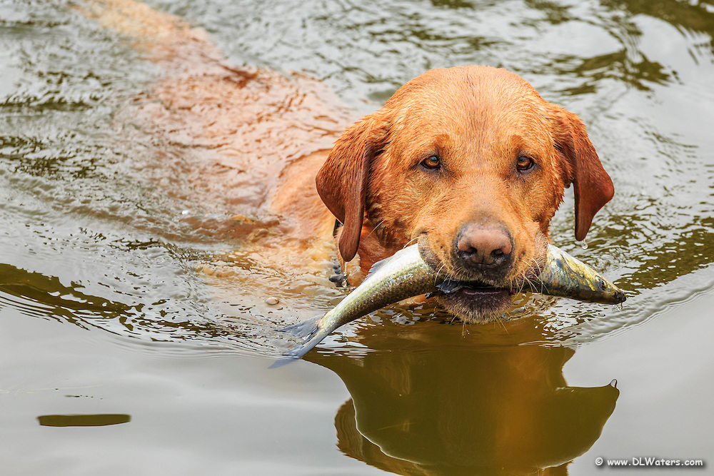 A retriever plays fetch with a fish commercial fishermen throw into the sound at Wancheese North Carolina.