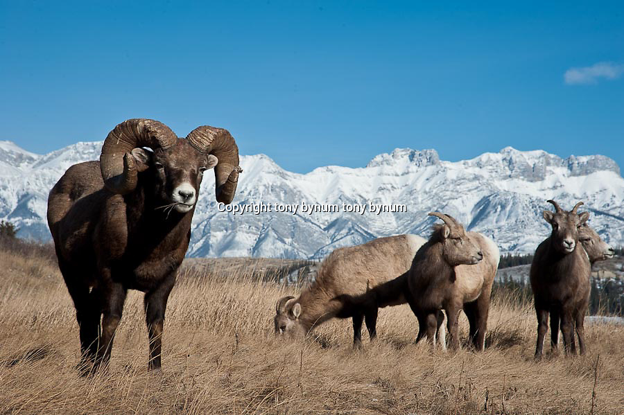 bighorn ram stands with ewes, rocky mountains wild rocky mountain big horn sheep
