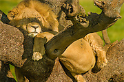 Male lion sleeps in tree to escape bugs, Serengeti National Park, Tanzania