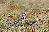 A Greater Roadrunner feeds on insects and seeds.