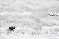 Bull moose crossing a willow flat in winter after fresh snow