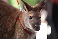Wallaby-Louisville Zoo