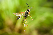 A black and yellow mud dauber wasp (Sceliphron caementarium) photographed in flight with a high-speed camera.