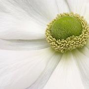 """Anemone coronaria """"The Bride"""""""