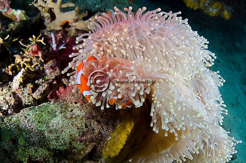 Ocellaris clownfish, Amphiprion ocellaris, Bali Indonesia