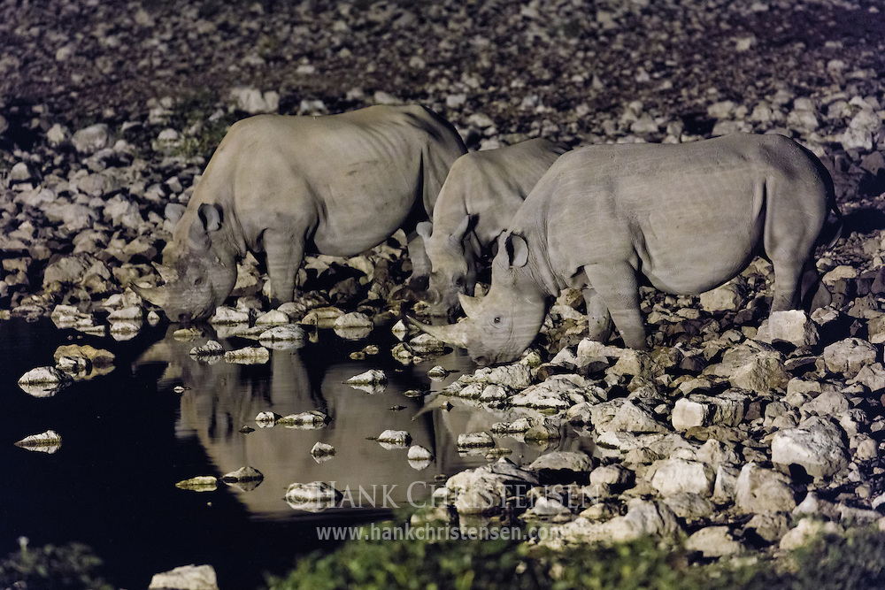 Under the cover of darkness, three endangered black rhinos socialize and drink from the Okaukuejo Waterhole, their bodies reflected in the still water.  These uncommon rhinos are rarely seen in daylight and are usually solitary creatures.  Only at night can they be seen interacting with one another socially.