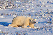 Polar Bear (Ursa maritimus) on sub-arctic Hudson Bay<br />