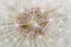 Closeup van de kern van een paardebloem; Closeup from a common dandelion
