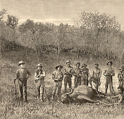 Big Game hunting in the Transvaal, Africa.  Posing around a buffalo hunters have shot. Wood engraving c1890.