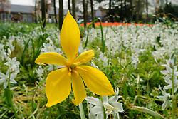 Bostulp, Tulipa sylvestris