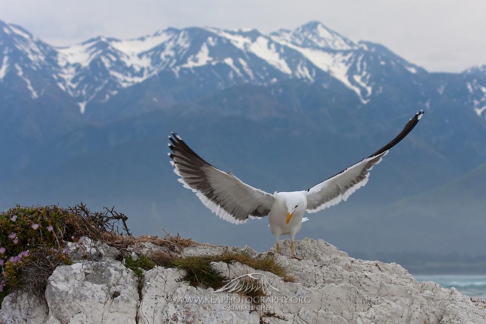 Kelp Gull, nest in Kaikoura, New Zealand