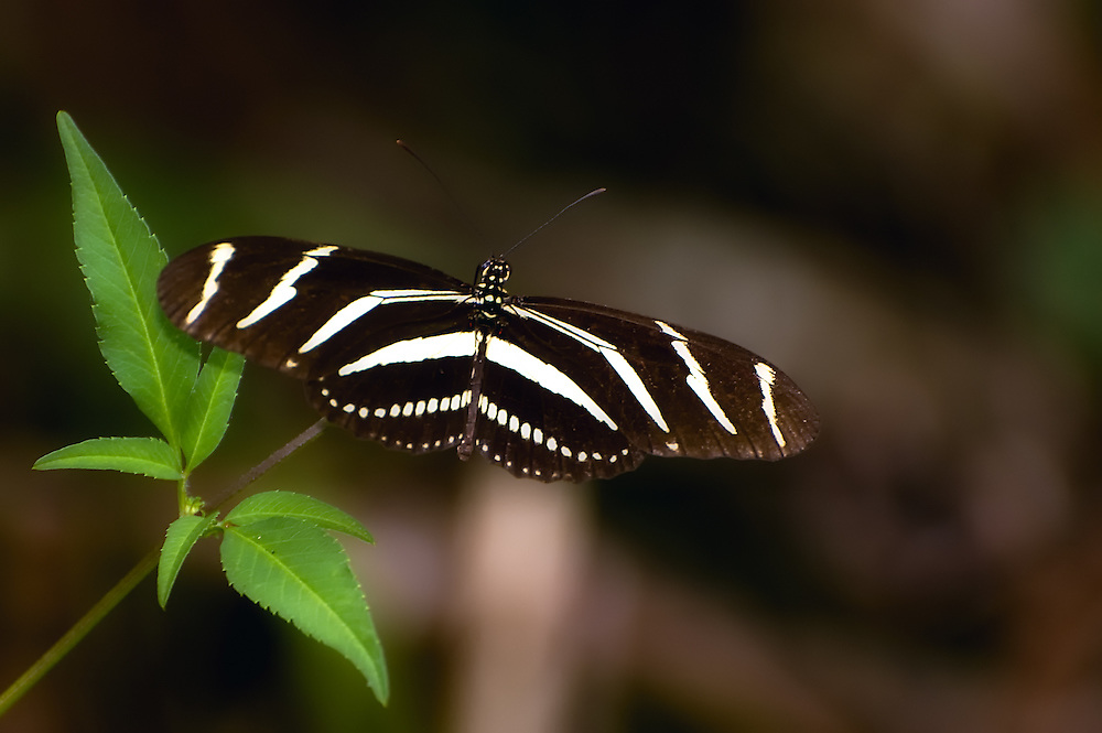 Zebra longwing butterfly seen in the Corkscrew Swamp. These are extremely common in South Florida, but maddening to try to photograph because of their rapid and erratic flight.
