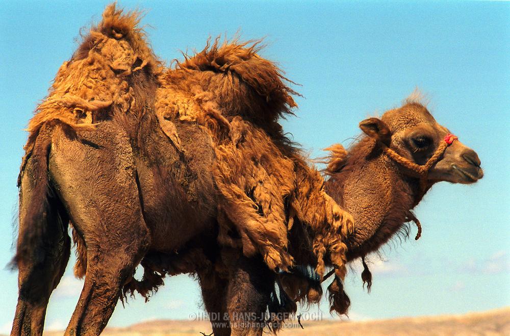 Mongolei, MNG, 2003: Kamel (Camelus bactrianus). Fohlen auf dem Gipfel einer Sanddüne bei einem Ausflug ohne Mutter. Das erste Fell hängt in Fetzen herunter, Süd-Gobi.   Mongolia, MNG, 2003: Camel, Camelus bactrianus, foal with shaggy birth fur hanging down in pieces, standing on a hilltop of a sand dune, on an excursion without its mother,  South Gobi.  