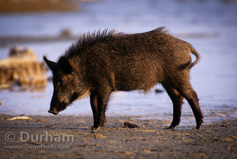 A feral pig (Sus scrofa) near the shallows of the Gulf Of Mexico. Aransas National Wildlife Refuge, Texas.