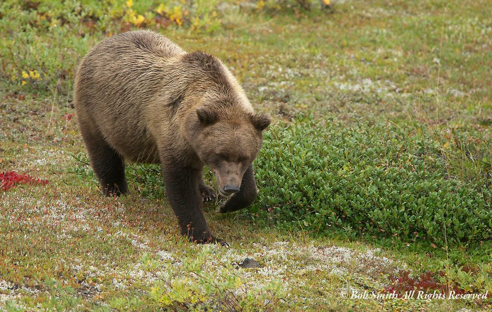 Grizzly crosses a meadow as fall colors appear in Denali National Park.