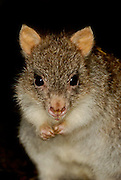 Rufous bettong (Aepyprymnus rufescens) is a small nocturnal marsupial native to Australia.  Also known as the Rufous Rat-kangaroo.