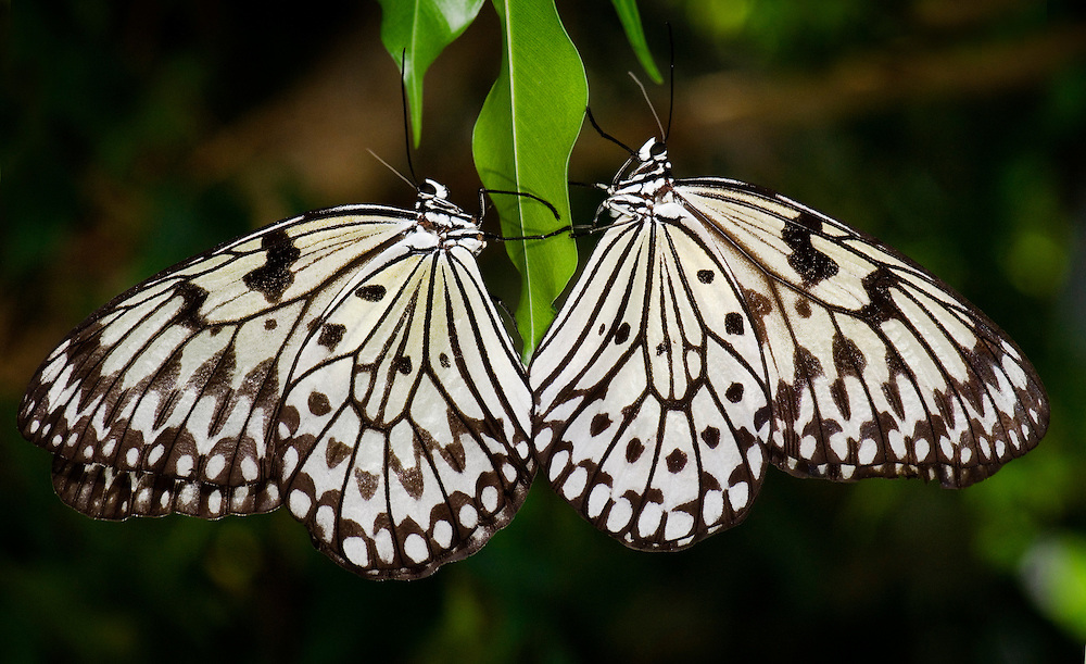 Tree Nymph (Idea leuconoe )