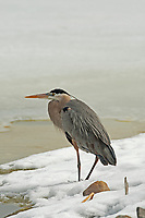 Wintertime Great Blue Heron sits next to the only open water at the Bear River Bird Refuge in northern Utah.