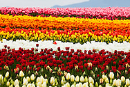 Tulips - - Washington