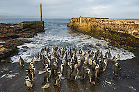 African Penguin colony congregating on the old slipway, Bird Island, Algoa Bay, Eastern Cape, South Africa