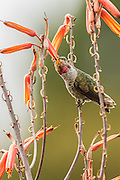 Anna's hummingbird feeding from aloe lolwensis plant, Southern California