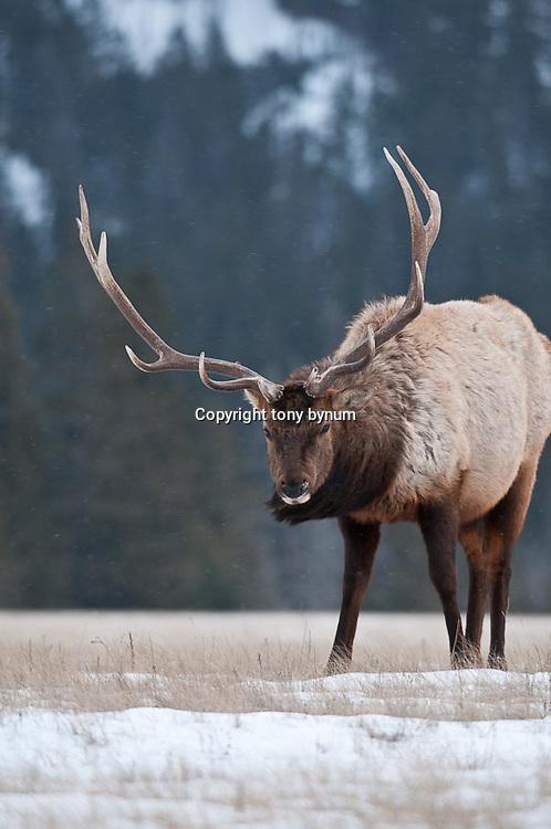 bull elk in open grass timber background feeding winter habitat
