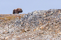 Musk Ox on Philpots Island on Devon Island at Nunavut, Canada.