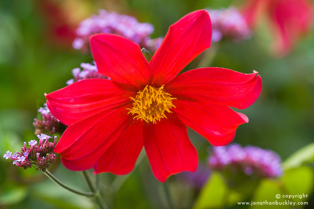 Dahlia coccinea. Red form from Lady Mary Keen