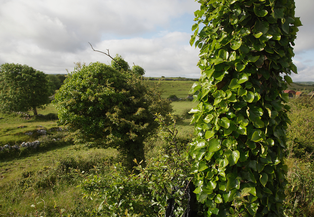 Ivy Hedera helix on post, Burren Ireland