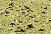 Nederland, Groesbeek, 5-3-2015Molshopen brengen schade toe aan het grasland van de boeren.Foto: Flip Franssen/Hollandse Hoogte