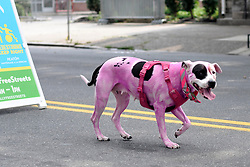 A pink dog walks not far behind its owner during the Philly Free Streets, on North Broad St. on Saturday. (Bastiaan Slabbers for WHYY)