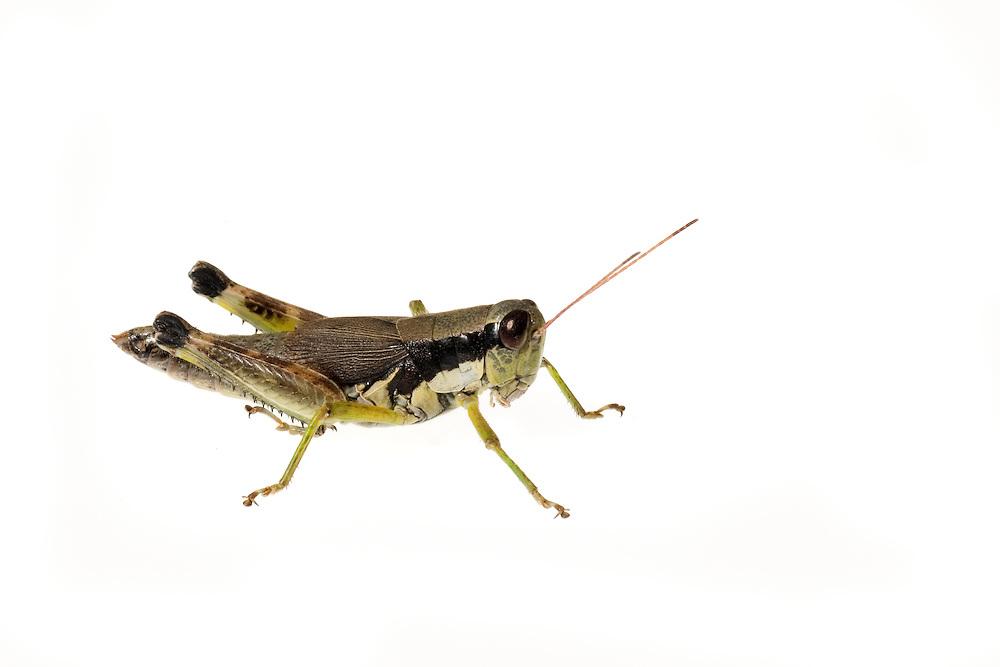 Green-legged Grasshopper (Melanoplus viridipes)