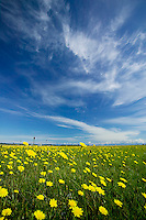 Fields of dandelions look to the sun as a dramatic cloud formation forms overhead.  Comox, Vancouver Island, British Columbia, Canada.