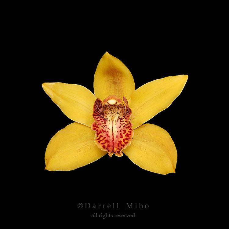 yellow cymbidium orchid on black background.<br /> <br /> &copy; Darrell Miho