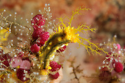 Yellow sea cucumbers (Colochirus robustus). Raja Ampat, West Papua, Indonesia, Pacific Ocean [size of single organism: 4 cm]
