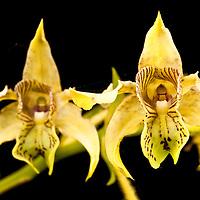 The Large-Leafed Dendrobium Orchid, Dendrobium macrophyllum on Kolombangara, Solomon Islands