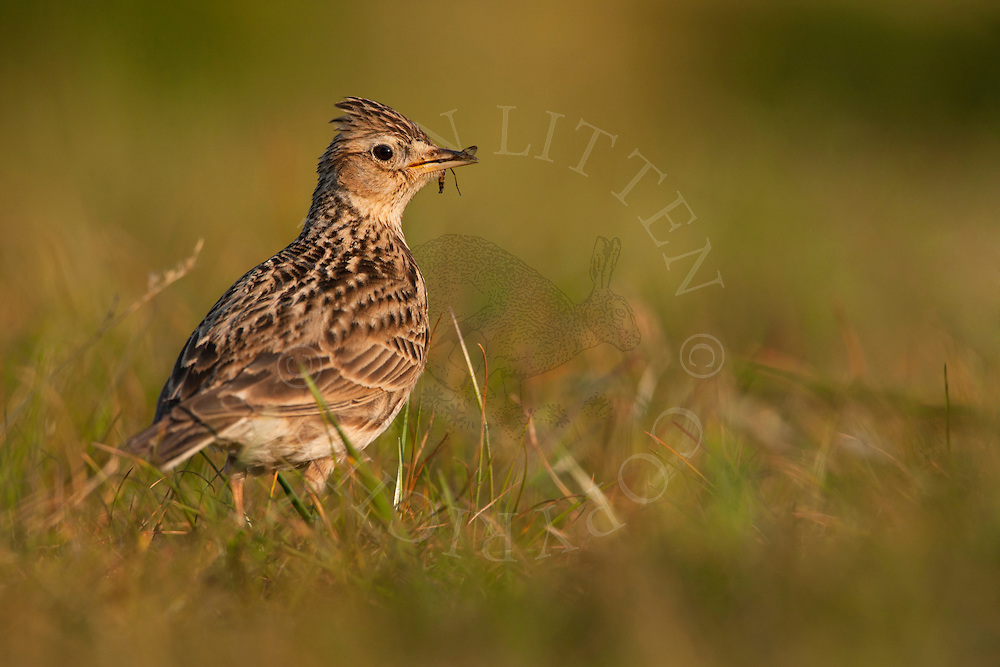 Skylark (Alauda arvensis) adult, standing in grass with insects in beak, Norfolk, England