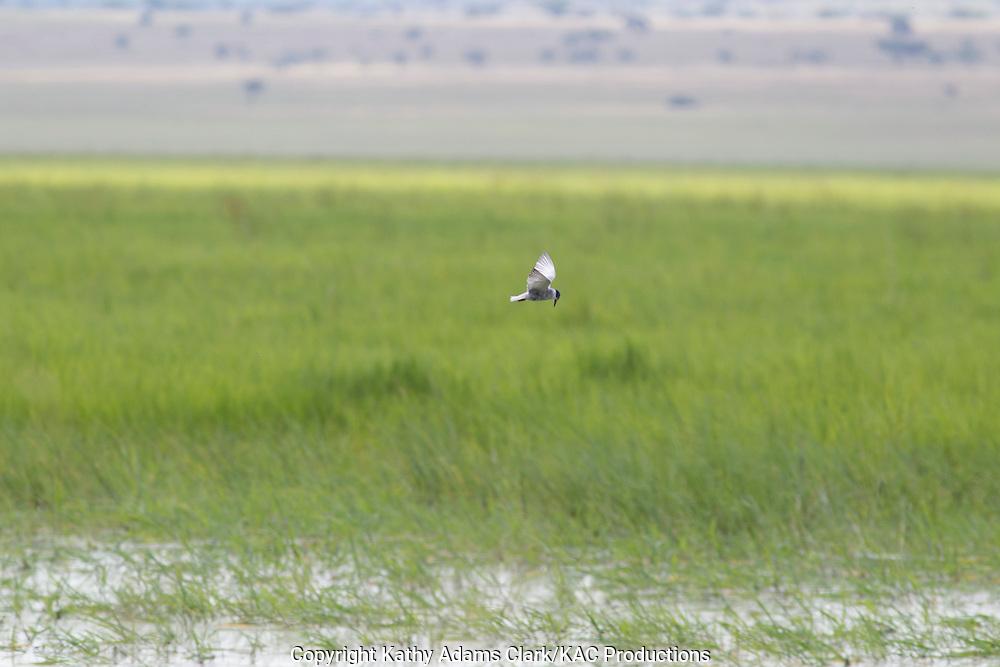 Whiskered tern, Chlidonias hybridus, Tarangire National Park, Manyara Region, Tanzania, Africa.