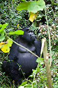 Trouble Maker is the pack leader one of the Silverback's of the Bitukura (Red) Mountain Gorilla (Gorilla beringei beringei) group.  The Bitukura group has 14 gorillas in total and is in the Bwindi Impenetrable Forest National Park in South West Uganda. It is 1 of 2 places in the world where the Mountain Gorilla is found.