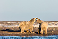 Polar Bears (Ursus maritimus)  play fighting on barrier island along Beaufort Sea  in Kaktovik, Alaska. Autumn. Afternoon.