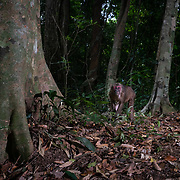 The stump-tailed macaque has long, thick, dark brown fur covering its body, but its face and rear are a deep red colour.