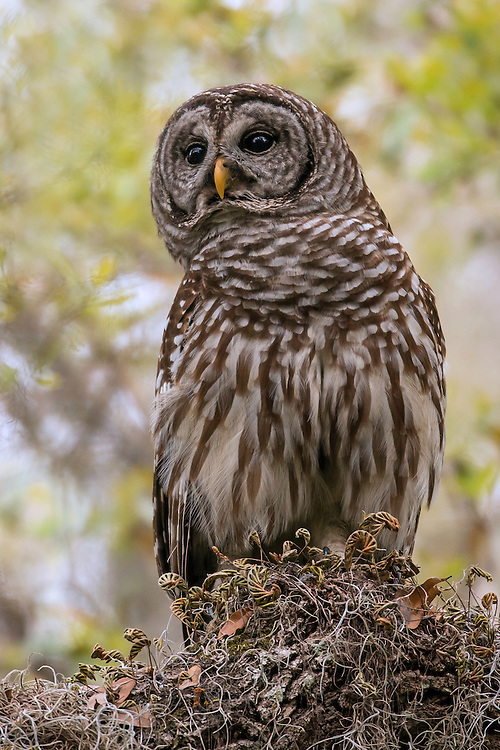 A female barred owl keeps a close eye on her owlets as they maneuver through the tall trees. She and her mate chose a heavily forested swamp in which to nest, keeping them away from their more aggressive cousin, the great horned owl, who prefers more open areas to nest.