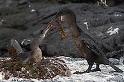 Flightless Cormorants (Nannopterum harrisi) on Nest<br /> Espinosa Point<br /> Fernandina Island<br /> Western Isles of Galapagos Islands<br /> Galapagos<br /> Ecuador, South America<br /> ENDEMIC TO GALAPAGOS