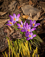 Early Purple Crocus flowers. A sign that spring is approaching. Image taken with a Leica TL2 camera and 55-135 mm telephoto zoom lens (ISO 100, 135 mm, f/4.5, 1/200 sec)