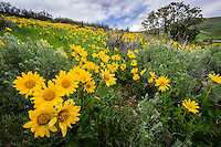 Hills of yellow balsamroot wildflowers in the Uinta National Forest signal that Spring has arrived.