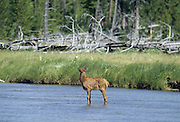 Cow Elk, Yearling Elk, Young Elk, Elk Calf, Calf,  Yellowstone National Park, Wyoming