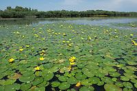 Water lilies on Lake Belau, Moldova, June 2009