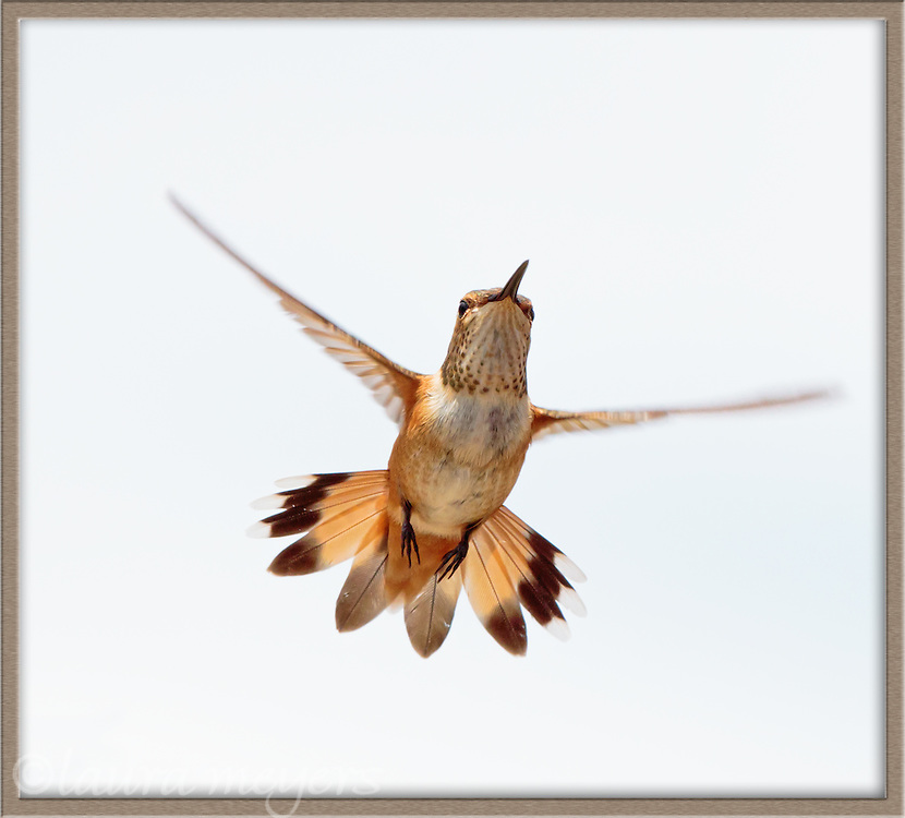 Rufous Hummingbird in flight in a frame