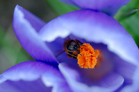 A bee finds a pollen feast in a spring Crocus.