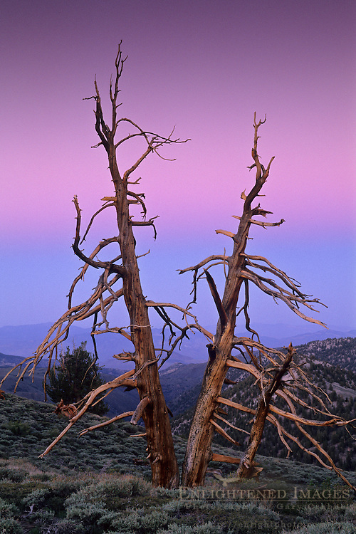 Evening light rises over Bristlecone Pines, Ancient Bristlecone Pine Forest White Mountains, CALIFORNIA